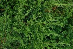 Grön naturlig bakgrund från barrträdfilialer Royaltyfri Foto