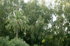 grön naturpalmträd för eucalyptus Fotografering för Bildbyråer