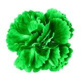 Grön nejlikablomma som isoleras på vit bakgrund Närbild element för klockajuldesign royaltyfri fotografi