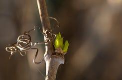 Grön njure på en vinranka royaltyfria foton