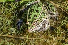 Grön nordlig leopardgroda Arkivbild