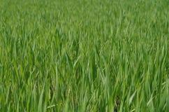 Grön ny gräscloseup Royaltyfri Foto