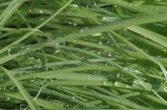 Grön ny gräscloseup med vattendroppar Royaltyfri Bild