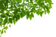 Grön ny leafram Arkivbild