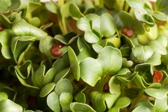 Grön ny organisk kryddkrasse för sommar Royaltyfria Foton