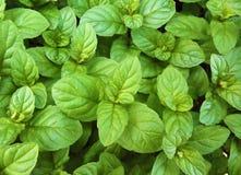 Grön ny sund modell för naturlig bakgrund för mintkaramellsidor royaltyfri foto