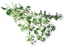 Grön ny timjan med blommor på en vit royaltyfri foto