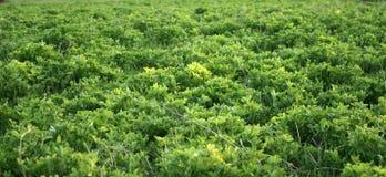 Grön ny växt av släktet Trifolium som växer i tidig vår Kan användas som en bakgrund eller en textur, närbild fotografering för bildbyråer