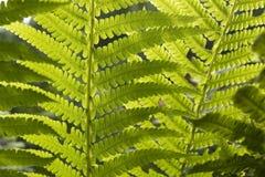Grön ny växtormbunkecloseup för bakgrund royaltyfri fotografi