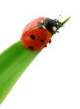 grön nyckelpigaleaf Royaltyfri Fotografi