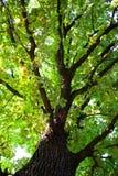 grön oak Arkivbild
