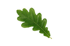 Grön oakleaf som isoleras på vitbakgrund Arkivbilder