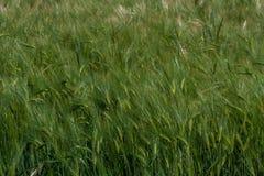 grön oat Arkivbild