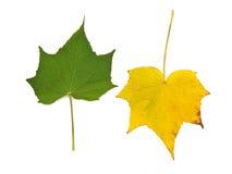 Grön och gul leaf på white Royaltyfri Bild
