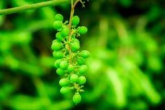 Grön och mognad grupp av druvor växa för druvor royaltyfria bilder