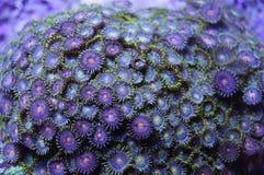 Grön och orange Zoanthid korall Arkivfoto