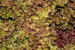 Grön och röd bladgrönsallat Royaltyfria Bilder