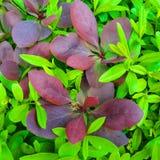 Grön och röd bladsammansättning Royaltyfri Bild