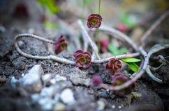 Grön och röd suckulent blommaprydnad på basen av stenbräckan Fotografering för Bildbyråer