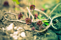 Grön och röd suckulent blommaprydnad på basen av stenbräckan Arkivfoto