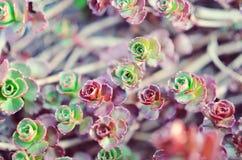 Grön och röd suckulent blommaprydnad på basen av stenbräckan Royaltyfri Bild