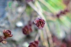 Grön och röd suckulent blommaprydnad på basen av stenbräckan Royaltyfria Foton