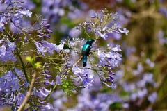 Grön och svart kolibri arkivfoto