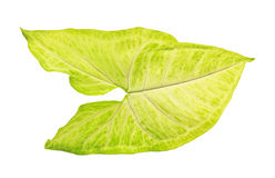 Grön och vit leaf Royaltyfria Foton