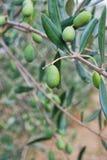 grön olivgrön tree Arkivbilder