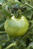 Grön omogen tomat på vinranka Fotografering för Bildbyråer