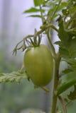 Grön omogen tomat` s som hänger på en tomatväxt i trädgården, selektiv fokus Fotografering för Bildbyråer