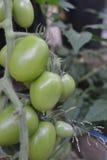 Grön omogen tomat` s som hänger på en tomatväxt i trädgården, selektiv fokus Royaltyfri Bild