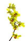 grön oncidiumorchid Arkivbilder