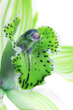 grön orchid Royaltyfri Bild