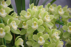 grön orchid Royaltyfri Fotografi