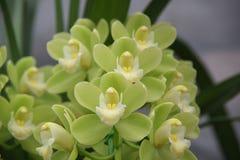 grön orchid Royaltyfria Bilder