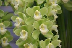 grön orchid Arkivbild
