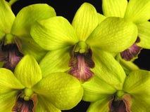 grön orchid för dendrobium Fotografering för Bildbyråer