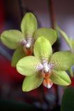 grön orchid för detalj Royaltyfria Bilder