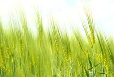 grön organisk fjäder för korn Royaltyfri Fotografi