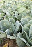 grön organisk radfjäder för kålar Royaltyfri Bild