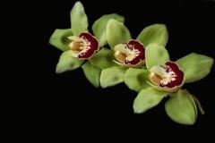 Grön orkidé - svart bakgrund Arkivbilder