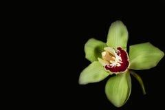 Grön orkidé - svart bakgrund Arkivfoton