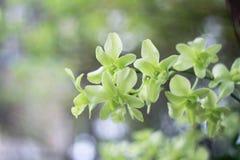 Grön orkidéblomma i trädgårds- bakgrund, grön blomma Royaltyfri Fotografi