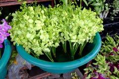 Grön orkidégrupp Arkivfoto