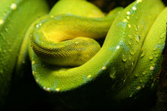 Grön orm Arkivfoto