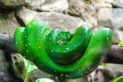 Grön orm i en trädfilial arkivfoton