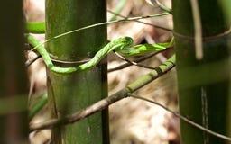 Grön orm i nationalparken av Thailand Fotografering för Bildbyråer