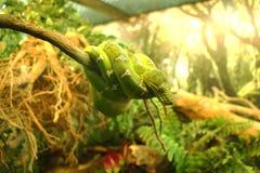 Grön orm på en filial Fotografering för Bildbyråer