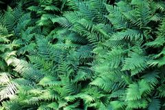 Grön ormbunke som en bakgrund Royaltyfria Foton
